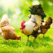 Rooster and Chickens. Free Range Cock and Hens  — Stock Photo