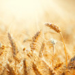 Field of Dry Golden Wheat. Harvest Concept — Stock Photo #29984945
