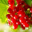 Redcurrant. Ripe and Fresh Organic Red Currant Berries Growing — Stock Photo