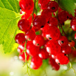 Stock Photo: Redcurrant. Ripe and Fresh Organic Red Currant Berries Growing