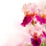 Iris Flowers Art Design. Beautiful Flower — Stock Photo