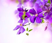 Clematis Flower. Violet Clematis Flowers Art Border Design — Stock Photo
