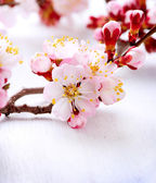 Spring Blossom. Apricot Flowers — Stock Photo