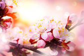 Spring Blossom. Apricot Flowers — Стоковое фото