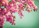 Sakura Flowers Background art Design. Spring Sacura Blossom — Stock Photo