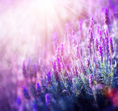 Lavender Flowers Field. Growing and Blooming Lavender — Stock Photo