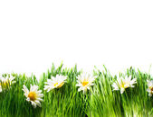 Spring Meadow with Daisies. Grass and Flowers — Stock Photo