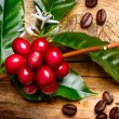 Coffee Plant. Red coffee beans on a branch of coffee tree — Stock Photo #44268137