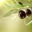 Growing Olives. Black Ripe Olive on a Tree — Stock Photo #44268201
