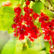 Red Currant. Ripe and Fresh Organic Redcurrant Berries — Stock Photo