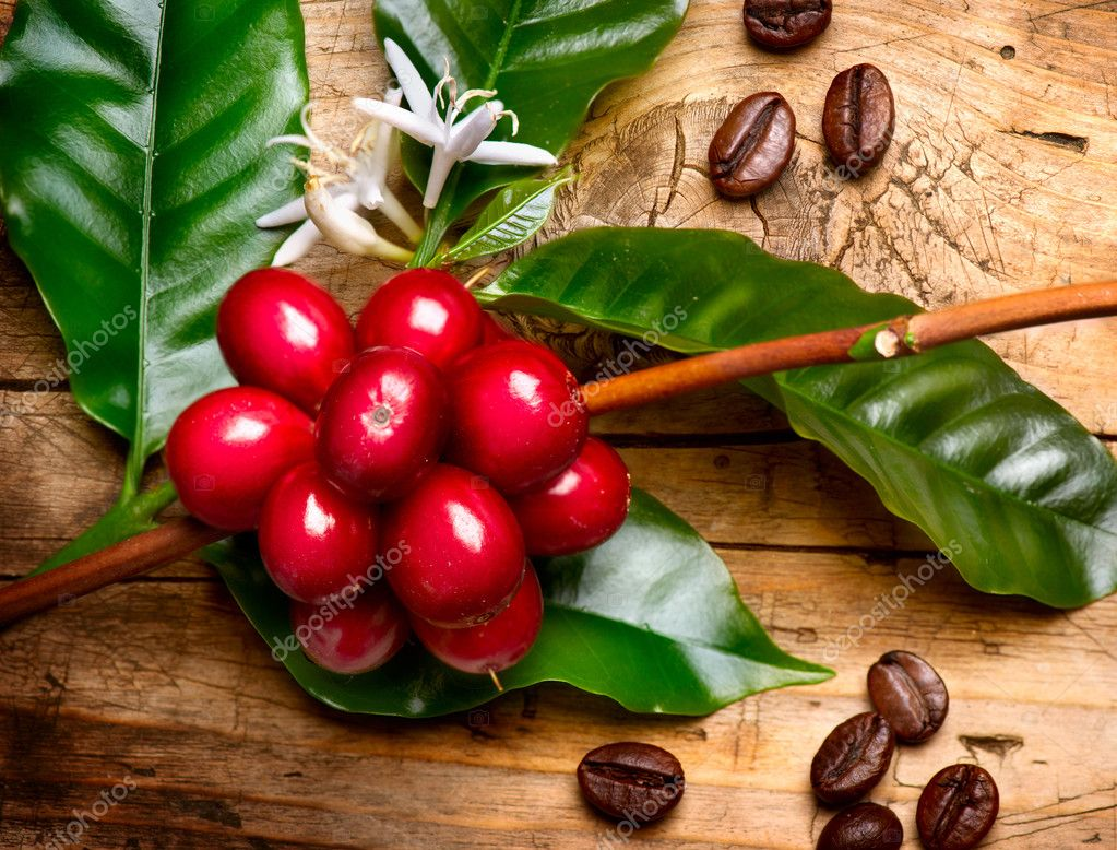coffee plant red coffee beans on a branch of coffee tree stock photo subbotina 44268137. Black Bedroom Furniture Sets. Home Design Ideas