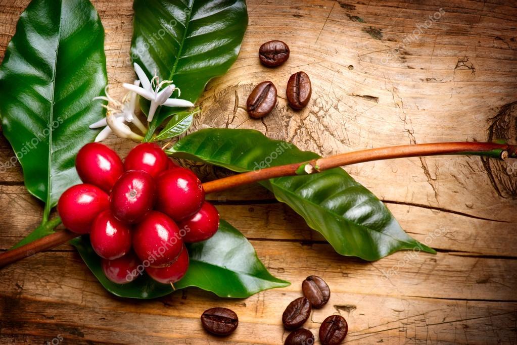 红色咖啡豆的咖啡树的树枝上 - 图库图片