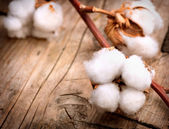 Beautiful Cotton plant buds — Stock Photo