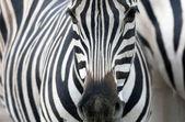Ritratto di una zebra — Foto Stock