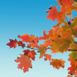 Royalty-Free Stock Photo: Red yellow fall maple leafs over the blue sky