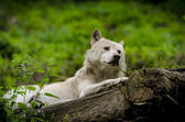 Wolf on tree trunk — Stock Photo