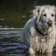 Dog in water — Stock Photo
