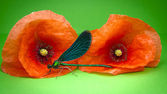 Dragonfly in front of corn poppy — Stock Photo