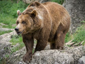 Bear in nature — Stock Photo