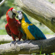 Macaw — Stock Photo #30937807