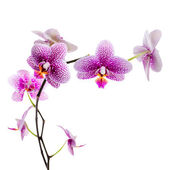 Pink orchid isolated on white background — Stock Photo