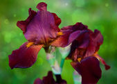 Brown bearded iris — Stock Photo