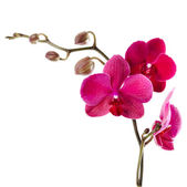 Beautiful purple orchid on a white background — Stock Photo