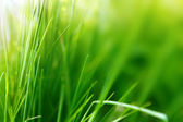 Spring or summer background with green grass — Stock Photo