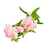 The pink peony on white background. — Stock Photo