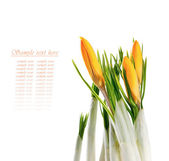 Crocus flowers isolated on white background — Stock Photo