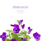 Bouquet of purple pansy flowers isolated on white — Stock Photo
