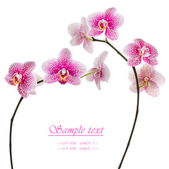 Beautiful pink orchid on a white background — Stock Photo