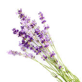 Bunch of lavender flowers on white background — Stock Photo