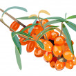 Vector isolated sea buckthorn — Stock Vector