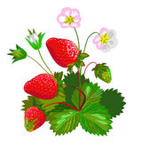 Strawberry with flowers — Stock Vector