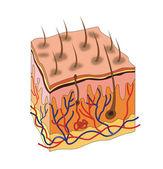 Skin anatomy — Stock Vector