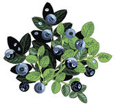 Wild blueberries — Stock Vector