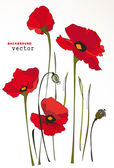 Red poppy flowers Isolated on white background. Vector illustration — Stock Vector