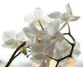 White flowers orchid on a white background — Stock Photo