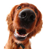 Irish Setter — Stockfoto
