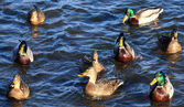 A ducks swimming in the lake — Stock Photo