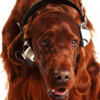 Irish Red Setter with headphones — Stock Photo