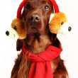 Royalty-Free Stock Photo: Irish Red Setter dog in the hat