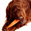 Royalty-Free Stock Photo: Irish Red Setter dog