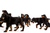 Young gordon setter puppy on white background — Stock Photo