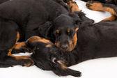 Setter gordon cachorro dormindo no fundo branco, cão — Fotografia Stock
