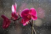 Květy orchideje na dešti kapky pozadí — Stock fotografie