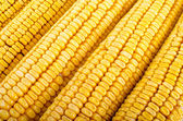 Corn close up — Stock Photo