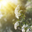 White flowers of Spiraea cantoniensis in morning — Stock Photo #30994211