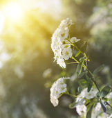 White flowers of Spiraea cantoniensis in morning — Stock Photo
